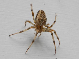 PHOTO: a female cross orbweaver spider, dorsal view