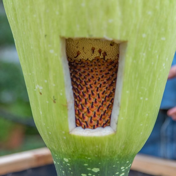 PHOTO: The female Amorphophallus titanum flowers are ready for pollination.