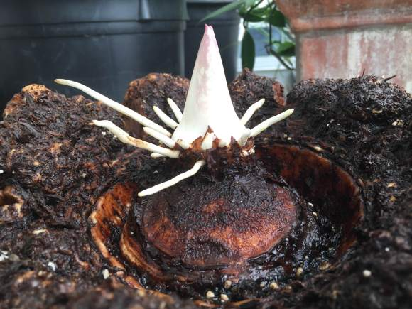 PHOTO: Alice the Amorphophallus gets ready to leaf out, almost exactly a year after blooming.
