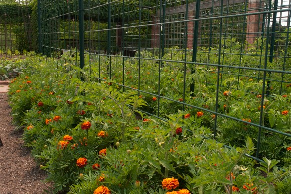 PHOTO: tomatoes and marigolds