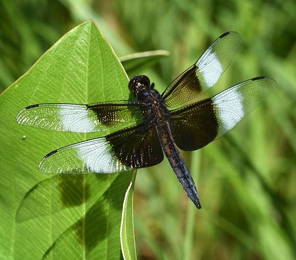 Dragonflies capture summer