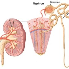 Diagram Of Where Kidneys Are Domestic Wiring Symbols Uk Chronic Kidney Disease Symptoms Treatment Cleveland Clinic Nephrons And Glomerulus