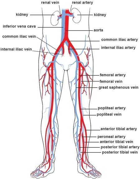 lower leg nerve diagram 2005 toyota corolla fuse box illustrations of the blood vessels cleveland clinic body circulation
