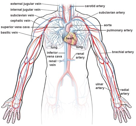 human vascular anatomy diagram 2006 dodge stratus wiring illustrations of the blood vessels cleveland clinic