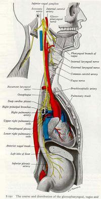 vagus nerve diagram mercury wiring harness the brain vagal