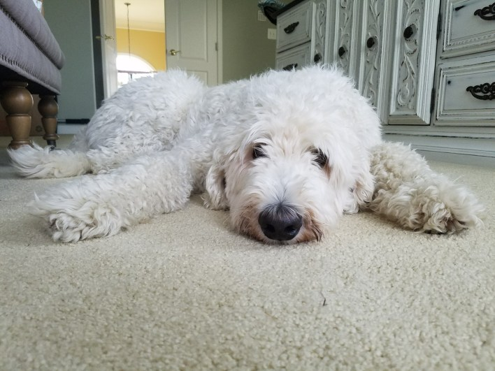 sensitive, sweet, fluffy white dog laying on the ground