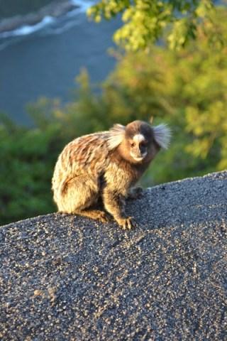 monkey on sugarloaf