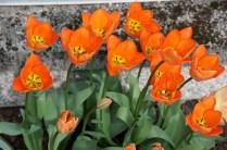 Orange tulips face the sun.