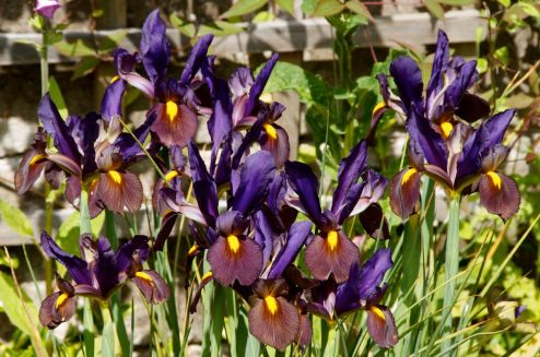 Iris Black Beauty
