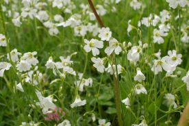 Possible Stitchwort though whether Greater or Lesser I have no idea!