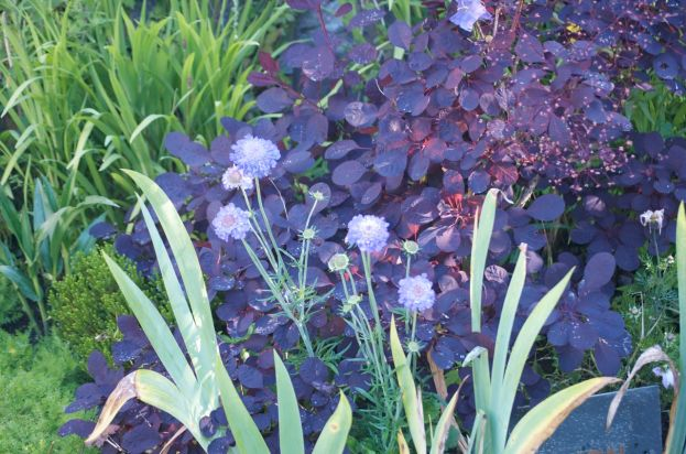 Scabiosa Mariposa Blue contrasts with Cotinus leaves