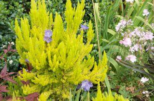 Erica Arborea Albert's Gold adorned with Campanula flowers