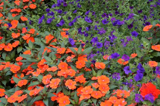 A vibrant colour combination of Busy Lizzies and Petunias