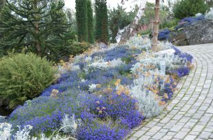 A harmonious colour combination of blue lobelia and silver.