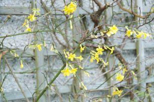 Winter jasmine always brightens up the winter