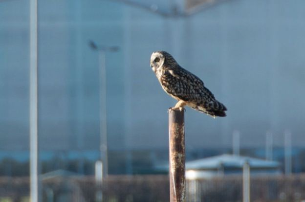 Short eared owl sitting on post on the golf course