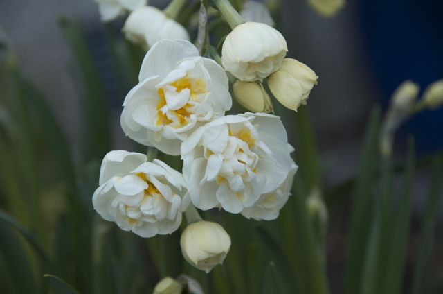 Narcissus 'Bridal Crown'. Smells just like hyacyinths