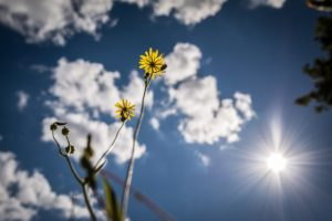 View from Ground Blue Sky - Sun - Flowers