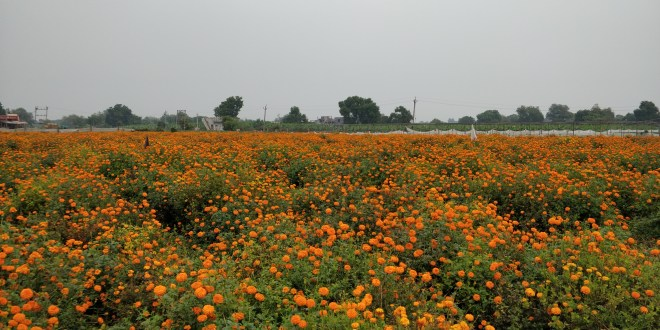 Marigold Farms on the way of Savli