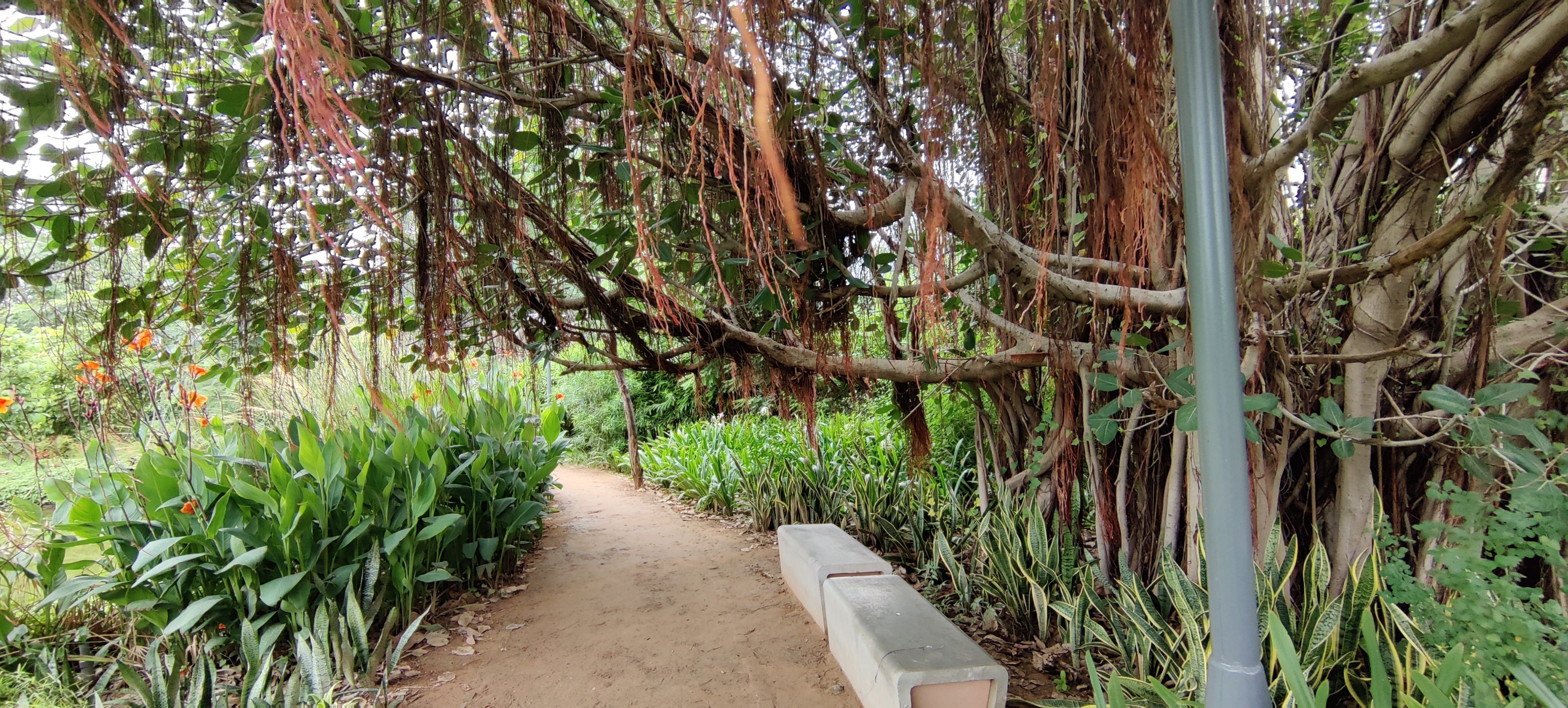 Banyan Tree at Symphony Forest Garden