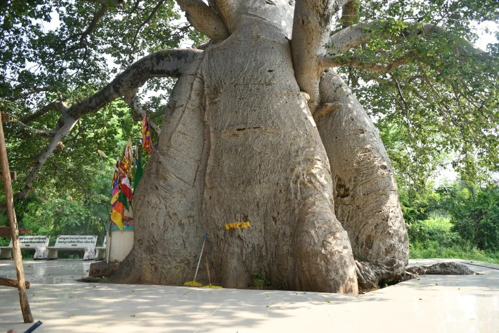 Baobab tree vadodara
