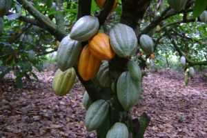Ghana is the world's second largest cocoa bean cultivator
