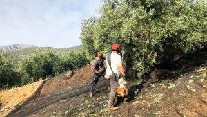 枝を揺らす機械を使って、オリーブの実を落とします。