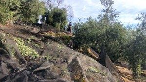険しい山肌のオリーブ農園、転がり落ちるオリーブの実をネットでキャッチします。