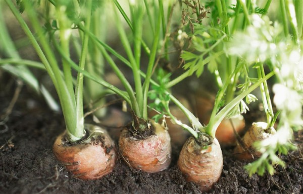 Organic carrots growing in soil.