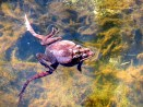 Wood frogs in spring