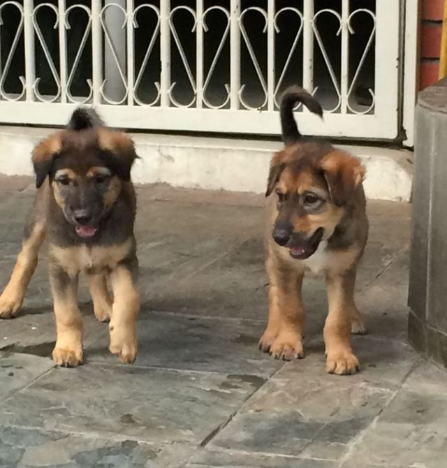 2 female puppies