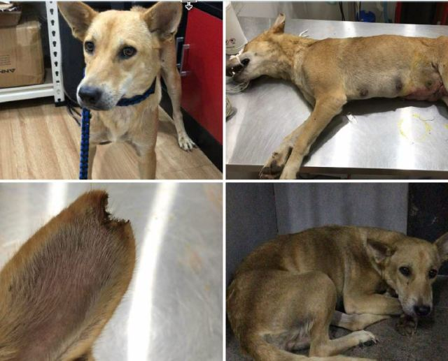 Neutering Aid For 1 Dog In Puchong (Hew Khur Shean's)