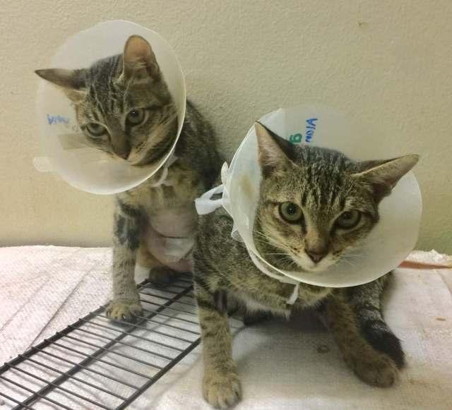 Neutering Aid For 3 Cats In Petaling Jaya (Kiu Sin Luen's)