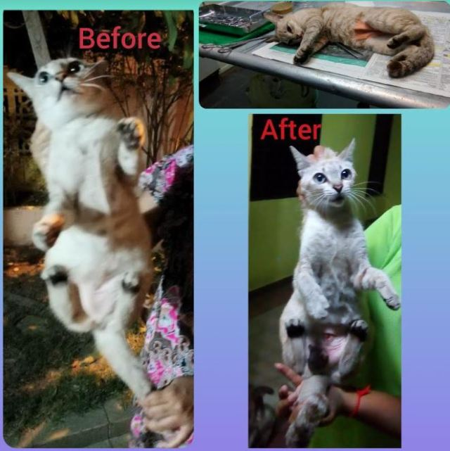 Neutering Aid For 1 Cat In Puchong (Kohila A/p Sivalingam's)