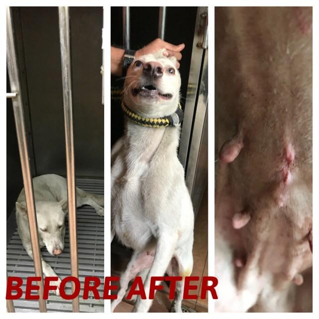 Neutering Aid For 3 Dogs In Batu Caves (Poh Yoke Yee's)