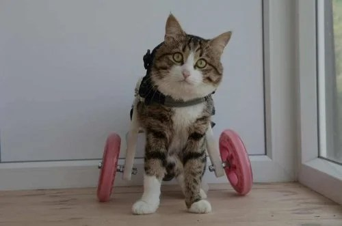 wheelchair for cats advantage church chairs rexie the cat who uses a