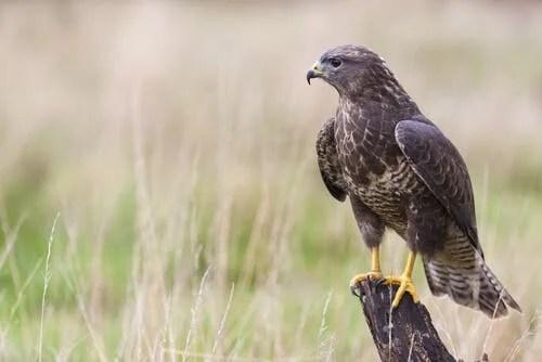 A hawk on a post.