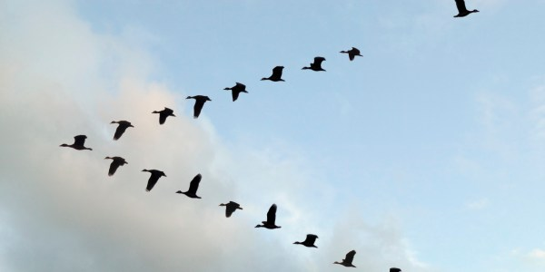 Flock of White-faced Whistling ducks flying in 'V' formation