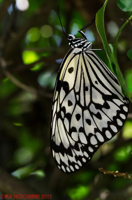 Rice Paper Butterfly(Vertical)