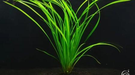 cyperus-helferi