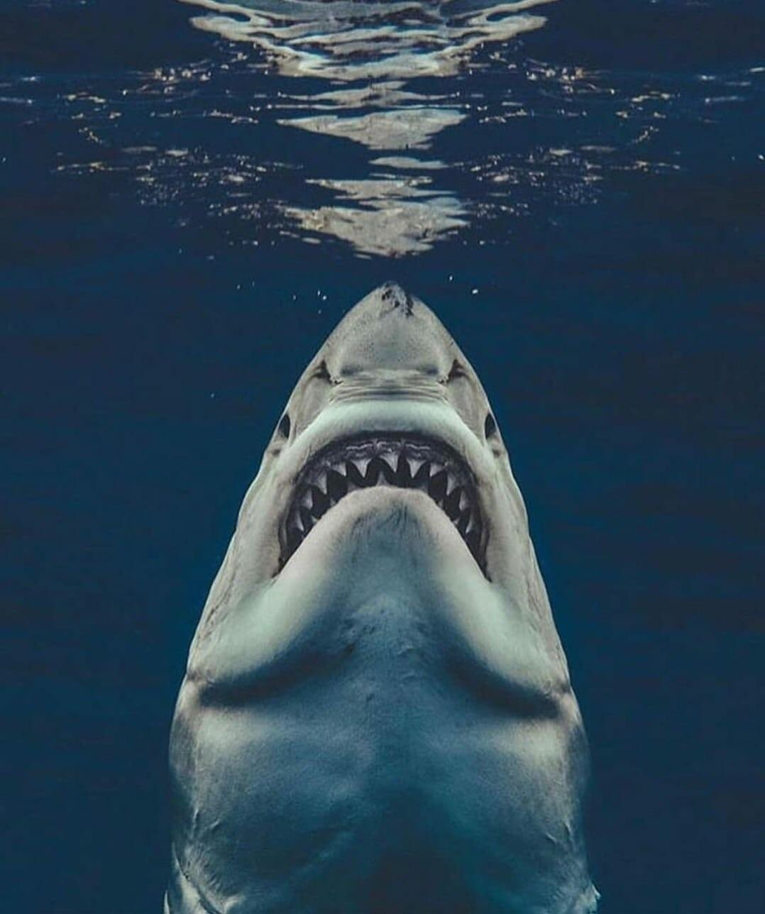 The Great White Shark Hunting From Below Photo Filler