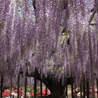 145-year-old Wisteria at Ashikaga Flower Park