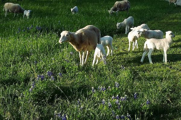 Snuggle Lambs
