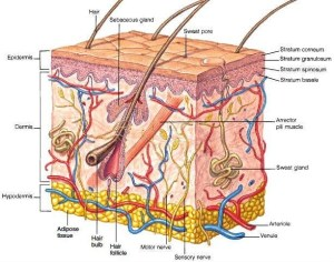 Anatomy  Mrs Dodson's Science Site