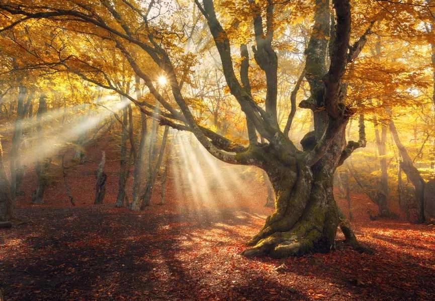 Ireland Fall Wallpaper Autumn Sun Rays Through Old Tree Backdrop Mybackdrop Co Uk