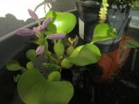 Water Hyacinth | my backyard nature