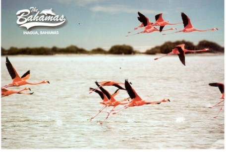 Flamingo Card from Inagua, Bahamas