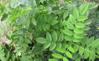 plant-of-mulethi