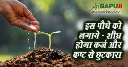 इस पौधे को लगाये शीघ्र होगा कर्ज और कष्ट से छुटकारा | Sukh Samridhi ke Upay