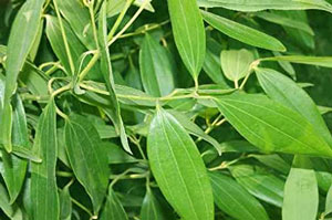 Benefits Of Bay Leaves in hindi